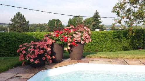 Potée fleuries verveine penisetum et petunia