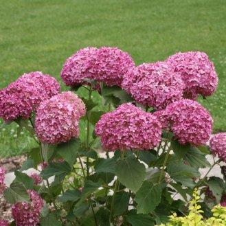 Bouquet Hydrangée