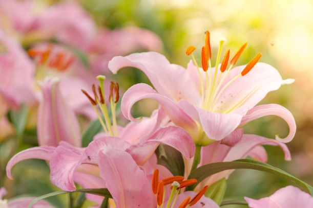 Beautiful pink lily flowers on natural background