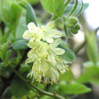 lonicera-caerulea-kamtschatica-fleur