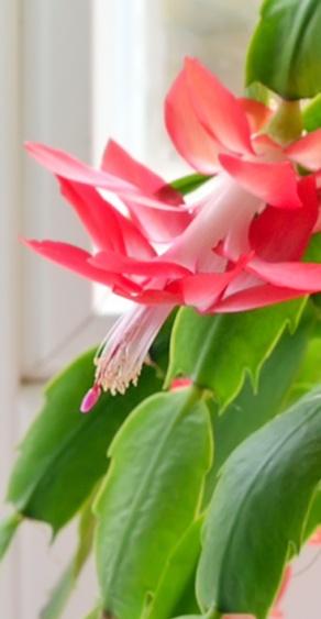 faire-fleurir-son-cactus-de-noel-3